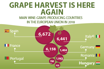 Grape harvest is here again